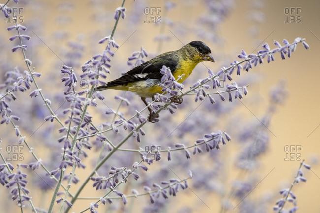 Lesser Goldfinch (Spinus psaltria) bird