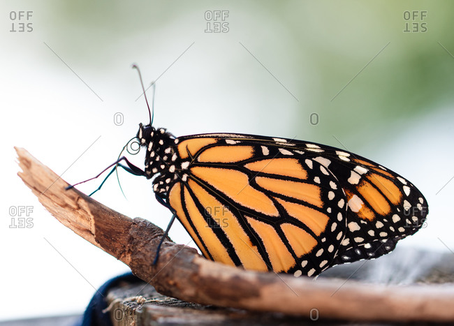 Close up of an orange monarch butterfly resting on a stick.
