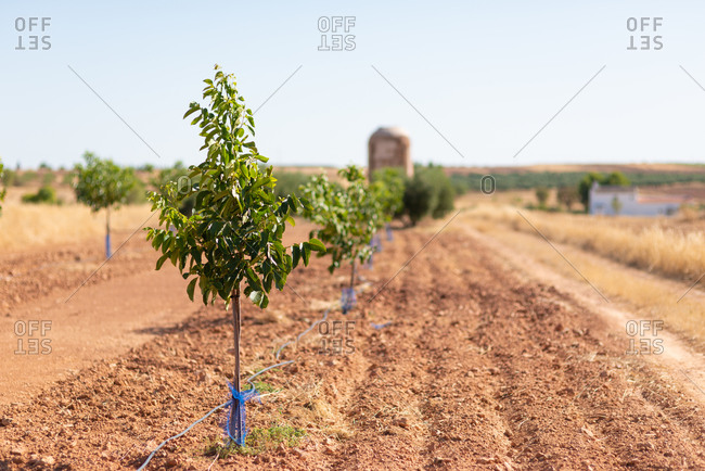 Young trees growing on agricultural field in countryside on sunny day in summer