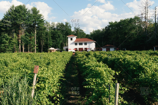 Hollis, NH, United States - July 29, 2020: Rows in a vineyard leading up to a tasting room surrounded by forest