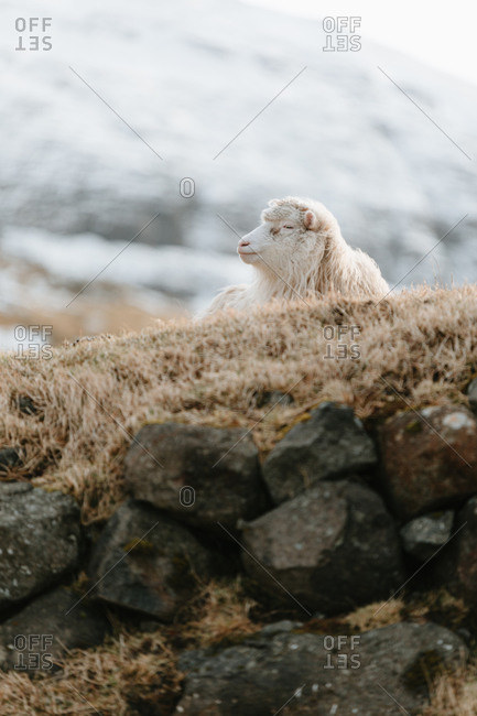 White domestic sheep lying on cold ground in winter on background of snowy mountains on Faroe Islands