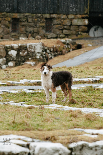 Adorable fluffy dog standing on dried grass in countryside in autumn on Faroe Islands and looking at camera