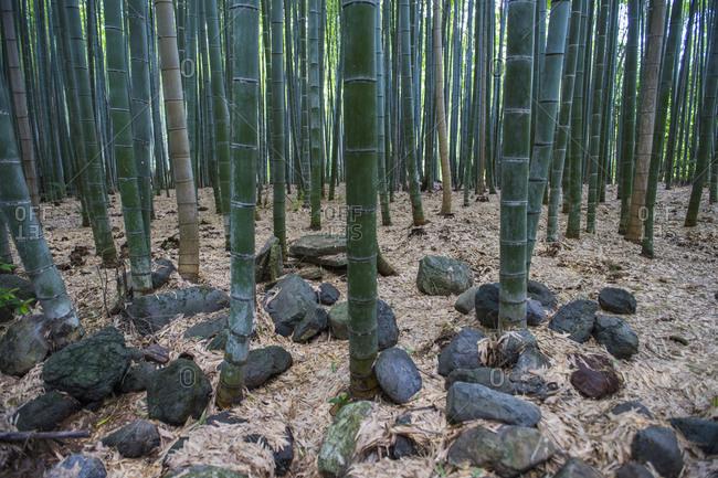 Close up of bamboo forest at Arashiyama Bamboo Groove