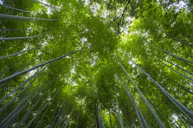 Looking up at bamboo forest at Arashiyama Bamboo Groove