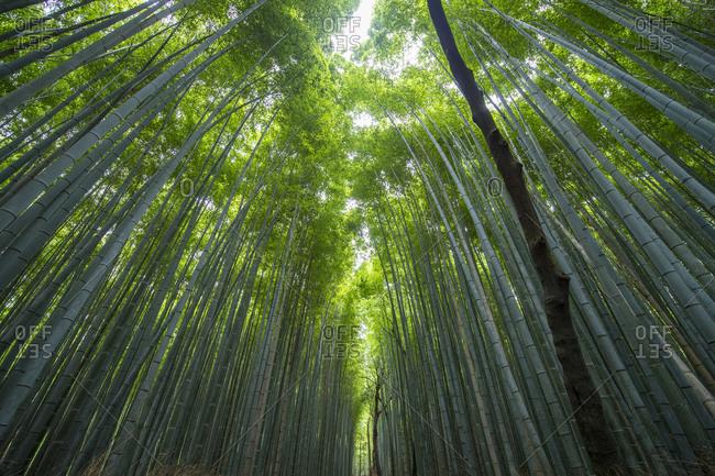 Bamboo forest at Arashiyama Bamboo Groove near Kyoto