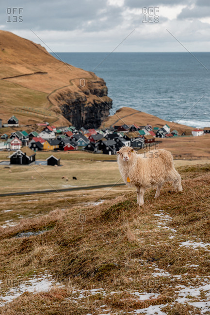 Domestic sheep on cold day in winter on background of snowy mountains and river on Faroe Islands