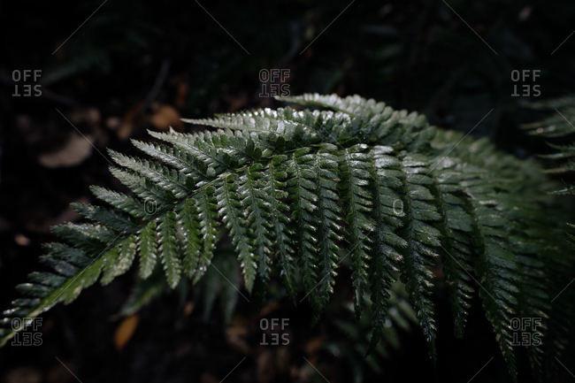 Fern Leaf in Huckleberry Preserve After Rainstorm