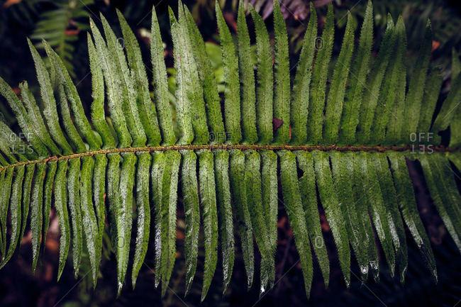 Green Fern in Huckleberry Preserve After Rainstorm