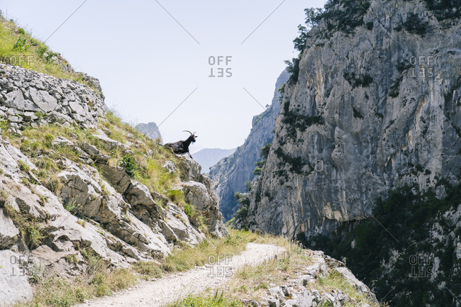 Goat siting on mountain at Ruta Del Cares- Asturias- Spain