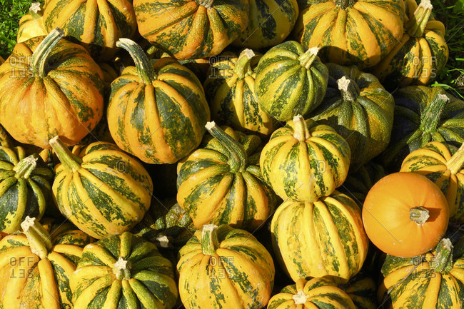 Heap of fresh yellow pumpkins