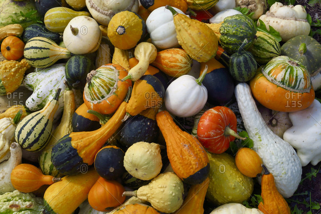 Heap of various squashes and pumpkins