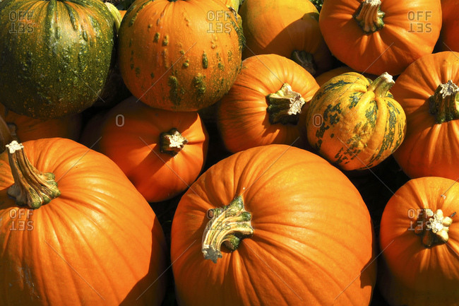 Heap of fresh orange pumpkins