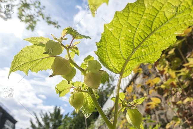 Physalis pruinosa growing outdoors, close up