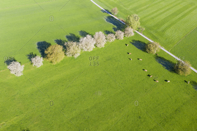 Drone view of cows grazing by row of blossoming wild cherries (Prunus avium) in spring