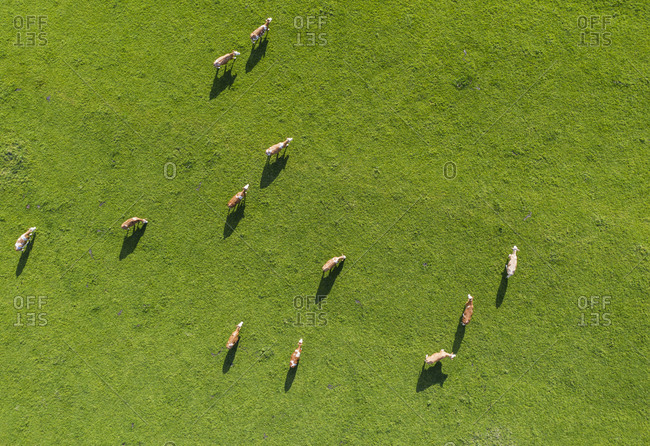 Drone view of cows grazing in green springtime meadow