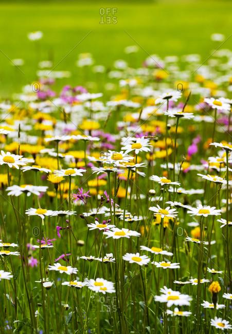 Oxeye daisies (Leucanthemum vulgare) blooming in springtime meadow