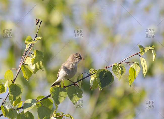 Portrait of Eurasian reed warbler (Acrocephalus scirpaceus) perching on leafy branch