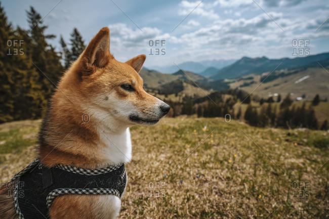 Europe, Germany, Bavaria, Bavarian Alps, Sudelfeld, Tatzelwurm, Brannenburg, Bayrischzell, Shiba Inu dog at the Alps