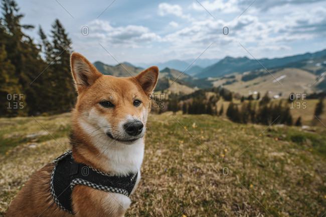 Europe, Germany, Bavaria, Bavarian Alps, Sudelfeld, Tatzelwurm, Brannenburg, Bayrischzell, shiba inu dog