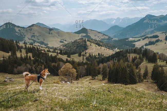 Europe, Germany, Bavaria, Bavarian Alps, Sudelfeld, Tatzelwurm, Brannenburg, Bayrischzell, Dog on Leash,