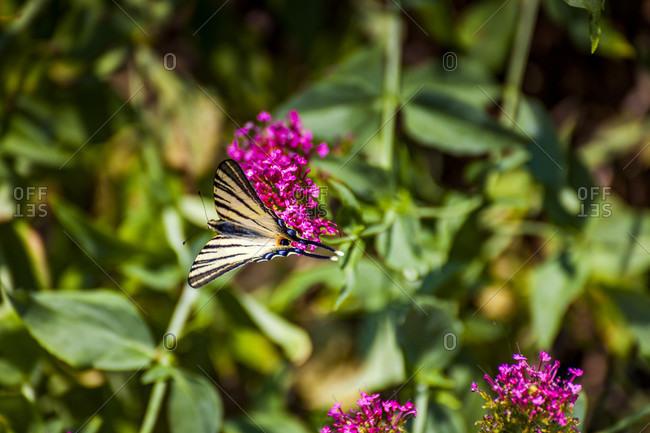 Europe, Italy, Lago di Garda, Limone sul Garda, butterfly on a flower,