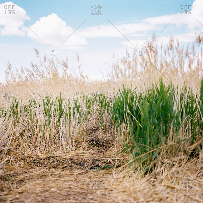 Path with tall grass and plumes in rural Utah, USA