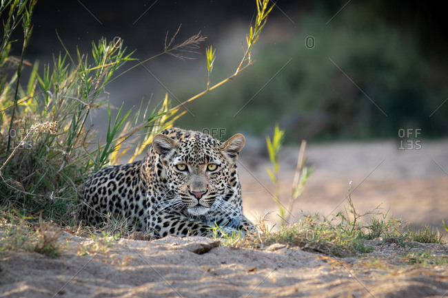 A female leopard, Panthera pardus, lies in sand, direct gaze, ears forward.