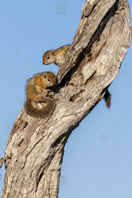 Two tree squirrels, Paraxerus cepapi, sit together on a tree trunk against blue sky background.