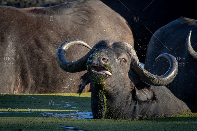 A buffalo, Syncerus caffer, lies down in water, tongue sticking out, looking out of frame.
