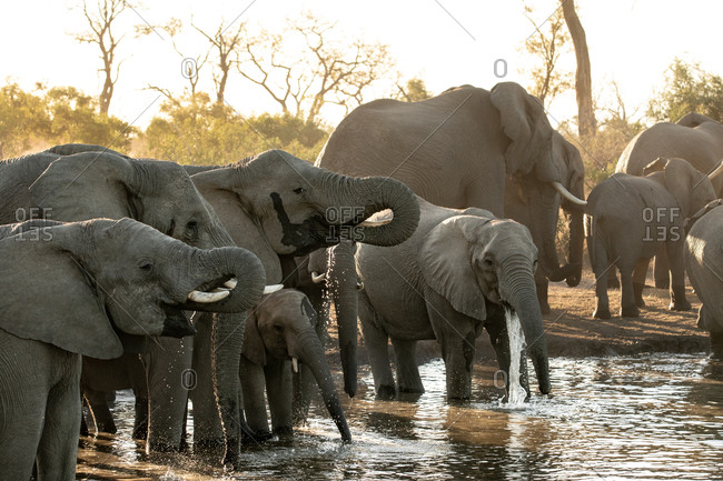 A herd of African elephants, Loxodonta africana, drink at a water hole during sunset in soft light.