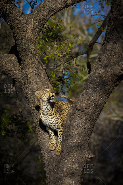 A female leopard, Panthera pardus, stands in the fork of a tree and gazes up.