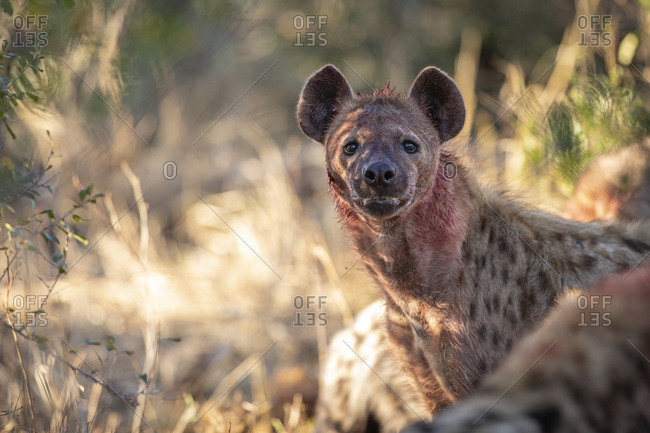 A spotted hyena, Crocuta crocuta, with blood covering its face, direct gaze.