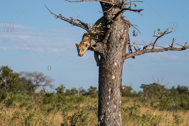 A leopard, Panthera pardus, glances down before jumping out of a tree.