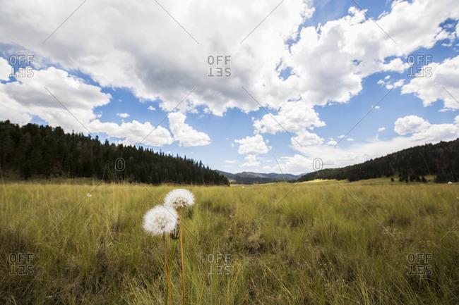 Dandelion clocks, fluffy seed heads in long grass in a meadow.