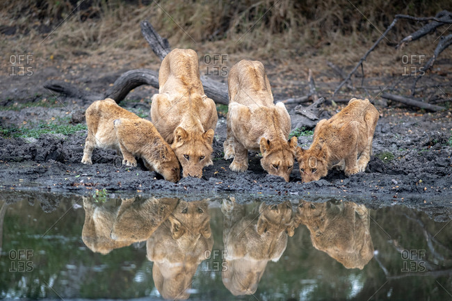 A pride of lions, Panthera leo, drink at a waterhole simultaneously, reflections in the water