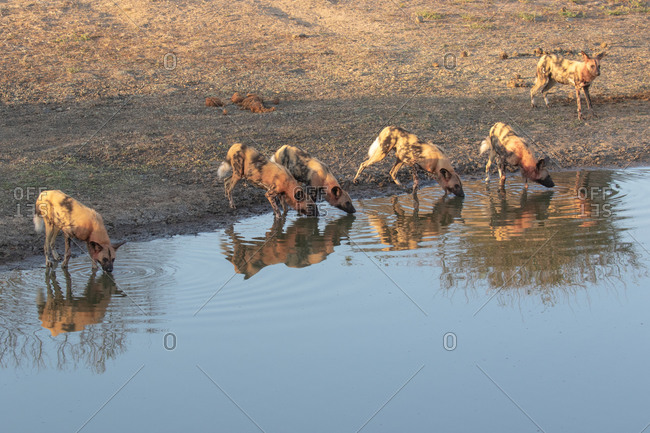 A pack of wild dogs, Conspectus, covered in blood, drinking at water hole