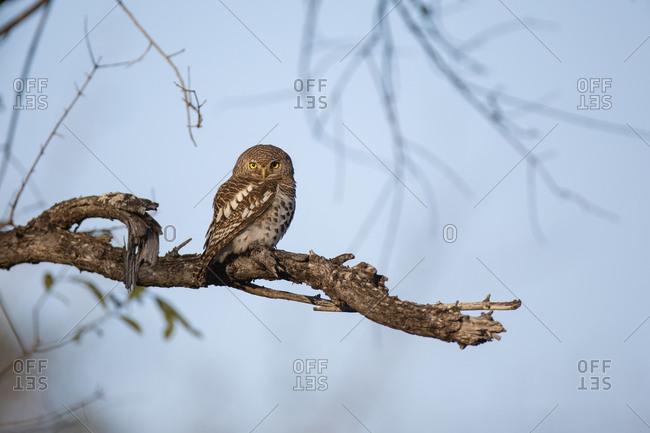 A barred owl sits on a branch, Strix varia, direct gaze, blue sky background