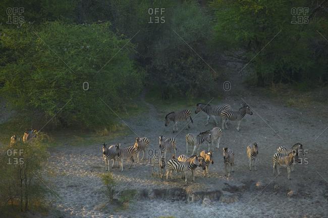 Herd of Burchell's Zebra, Moremi Reserve, Botswana.