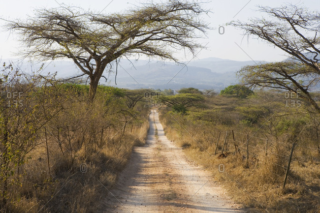 View along dirt road through acacia trees, Southern Africa.