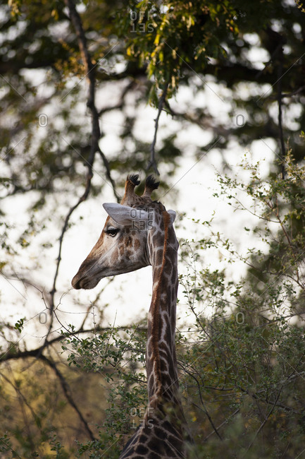 Close up of South African Giraffe, Camalopardalis Giraffa, Moremi Reserve, Botswana, Africa.