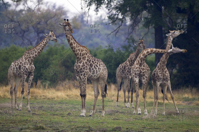 Small group of South African Giraffes, Camalopardalis Giraffa, Moremi Reserve, Botswana, Africa.