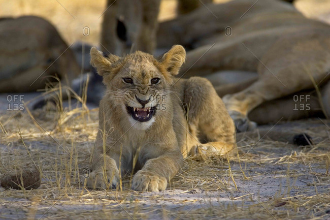 African lion, Panthera leo, cub lying on ground, snarling at camera