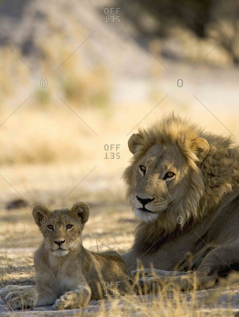 African lion, Panthera leo, male and cub lying on ground in the Moremi Reserve, Botswana, Africa.
