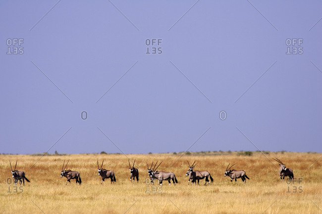 A herd of Oryx on the grassland of the Moremi Reserve, Botswana.