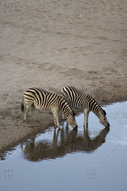 Burchell's Zebras drinking from water hole in the Moremi Reserve, Botswana.