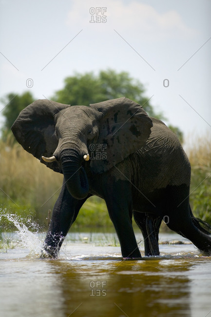 African Elephant, Loxodonta africana, wading through water
