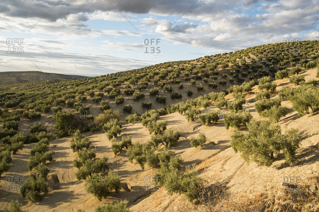 Olive plantation in Jaen, Spain. Cloudy sky in afternoon shot