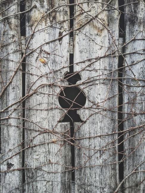 Dried up tendrils grow over a fence hole