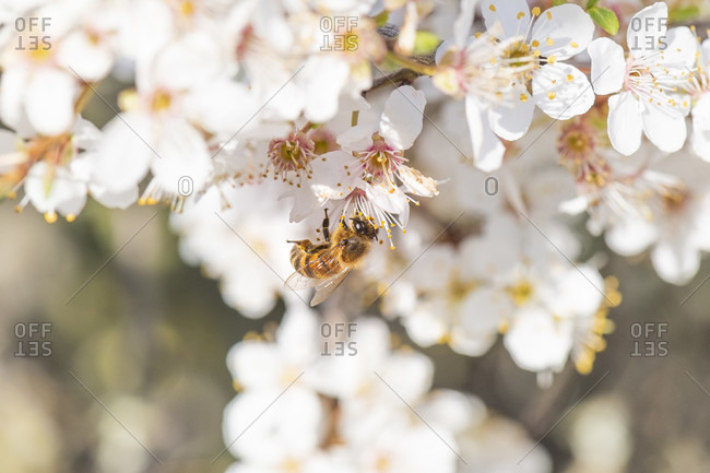 Apricot tree in bloom with honey bee