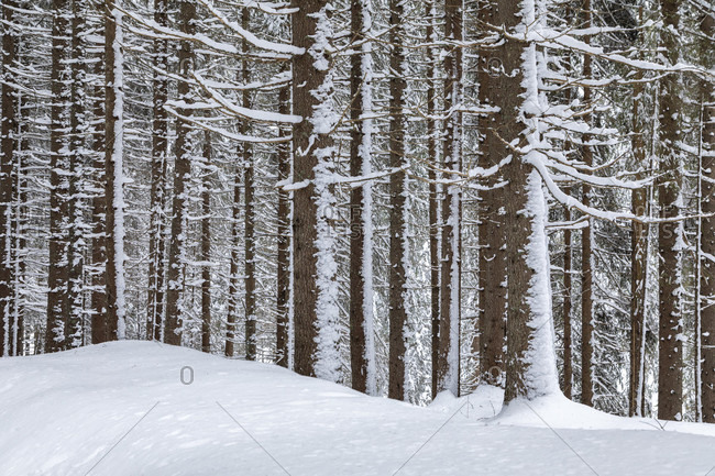 Detail of tree trunks covered by snow after a snowstorm, winter landscape, paneveggio, dolomites, predazzo, trentino, italy